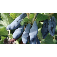 Жимолость Синій Утьос, Fruitech