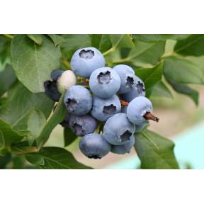 Лохина Блукроп, Fruitech