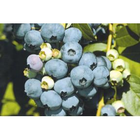 Лохина Ерліблу, Fruitech