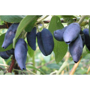 Жимолость Сільгінка, Fruitech