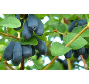 Жимолость Югана, Fruitech