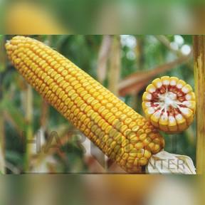 Оржица 237 МВ ФАО 230 - кукуруза, Рост Агро