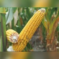 ДН Галатея ФАО 260 - кукуруза, Рост Агро