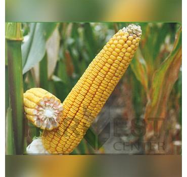 ДН Галатея ФАО 260 – кукурудза, Рост Агро