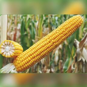 Кремінь-200 СВ ФАО 210 – кукурудза, Рост Агро