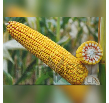 ДН Зоряна ФАО 210 – кукурудза, Рост Агро