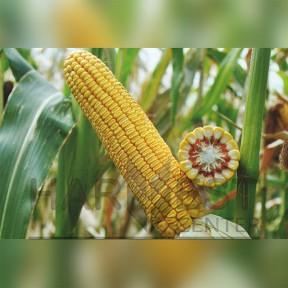 Маг ФАО 250 – кукурудза, Рост Агро