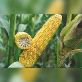 ДН Аджамка ФАО 320 – кукурудза, Рост Агро