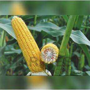 ДН Софія ФАО 430 – кукурудза, Рост Агро