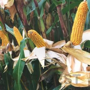 ДС0918Б ФАО 270 – кукурудза, Brevant