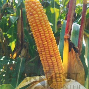 ДС21196Б ФАО 260 – кукурудза, Brevant