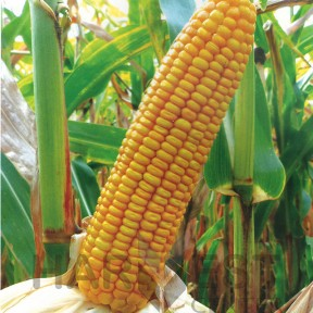 ДС1202Б ФАО 260 – кукурудза, Brevant