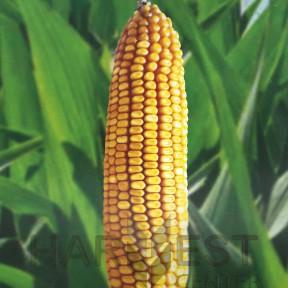 П8409 ФАО 260 – кукурудза, Brevant