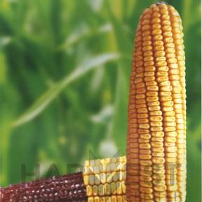 П8723 ФАО 280 – кукурудза, Brevant