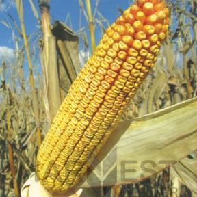 ДС0336 ФАО 310 – кукурудза, Brevant