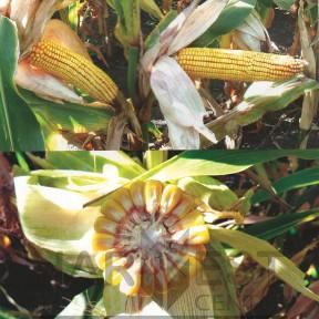ДС1304С ФАО 350 – кукурудза, Brevant