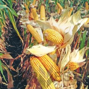 ДА Сонка ФАО 350 – кукурудза, Brevant