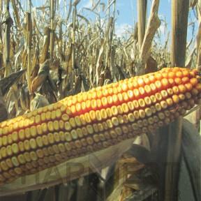 ДС0791С ФАО 350 – кукурудза, Brevant