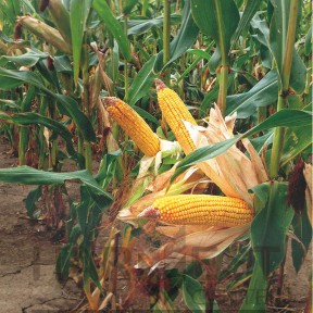 ДС0706С ФАО 360 – кукурудза, Brevant