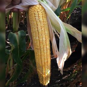 МТ Матадо ФАО 380 – кукурудза, Brevant