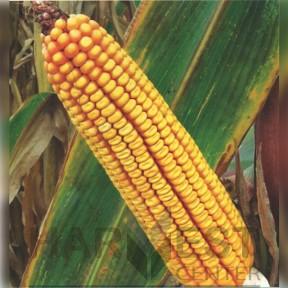 П9537 ФАО 390 – кукурудза, Brevant