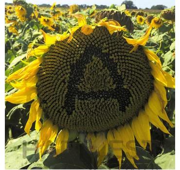 Антей – соняшник, Гермес