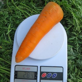 Морква Скарла | Scarla, Clause