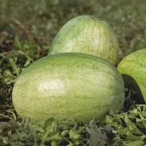 Кавун KS 1819 F1, Kitano Seeds