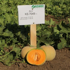 Диня KS 7049 F1, Kitano Seeds