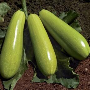Кабачок KS 3714 F1, Kitano Seeds