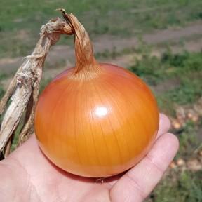 Цибуля KS 765 F1, Kitano Seeds