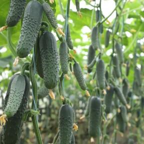 Огірок KS 80 F1, Kitano Seeds