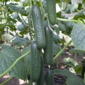 Огірок KS 930 F1, Kitano Seeds