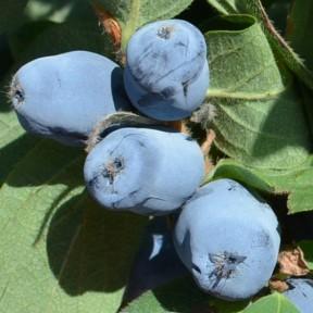 Жимолость Бореаліс, Fruitech
