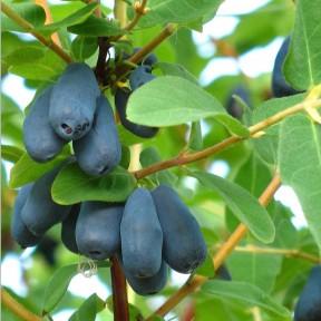 Жимолость Ханиби, Fruitech