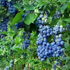 Голубика Торо, Fruitech
