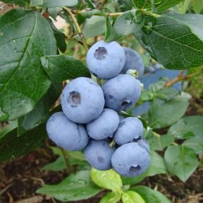 Голубика Патріот, Fruitech