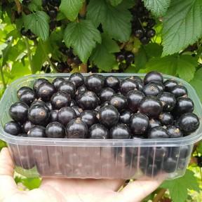 Смородина черная, сорт Черный десерт, Fruitech
