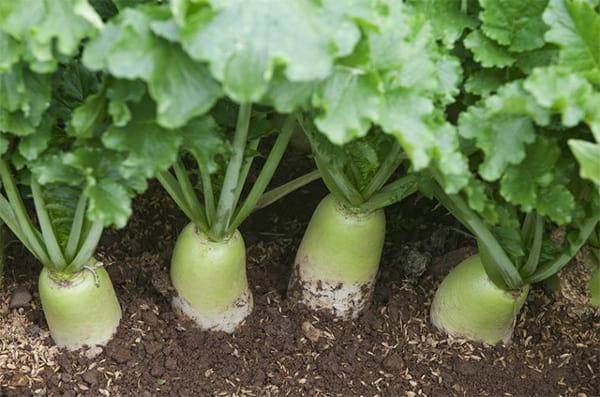 выращивание редьки из семян